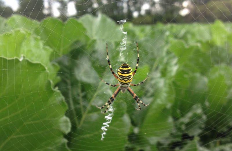 Spinne - groß